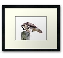 Redtail Hawk finishing a meal Framed Print