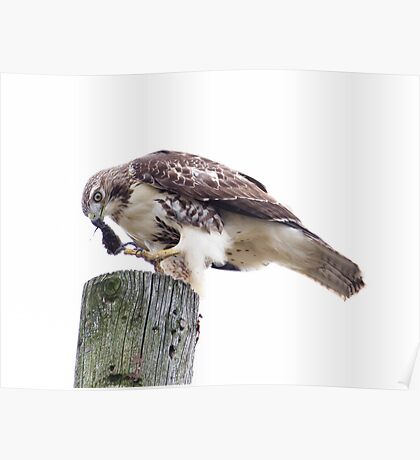 Redtail Hawk finishing a meal Poster