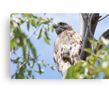 Redtail Hawk in a tree Canvas Print