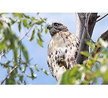 Redtail Hawk in a tree Photographic Print
