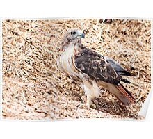 Redtail Hawk on a pile of woodchips Poster