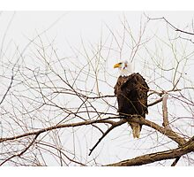 Bald Eagle in a tree Photographic Print
