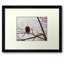 Bald Eagle in a tree Framed Print