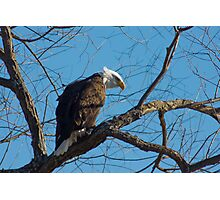 Bald Eagle with blue sky Photographic Print