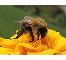Bumble Bee 13 Photographic Print