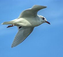 Stumpy the Mediterranean Gull in Flight by VoluntaryRanger