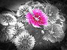 Pink In Black & White by ©Dawne M. Dunton