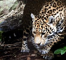 Prowling Jaguar by JenniferLouise