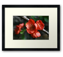 Quince Flower Close Up Framed Print