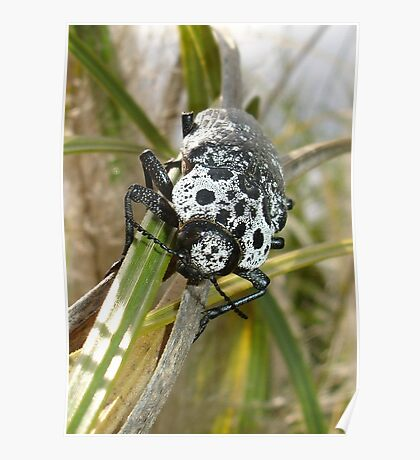 Black and White Capnodis Cariosa Beetle  Poster