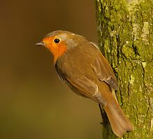 Robin hanging on a tree by Jon Lees