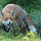 Hungry fox by Anthony Brewer
