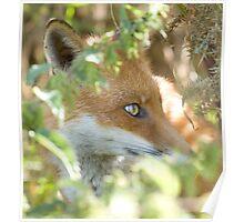 Hidden fox Poster