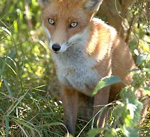 Demure fox by Anthony Brewer
