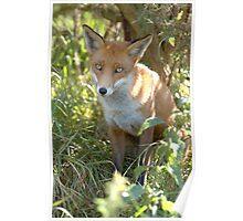 Demure fox Poster