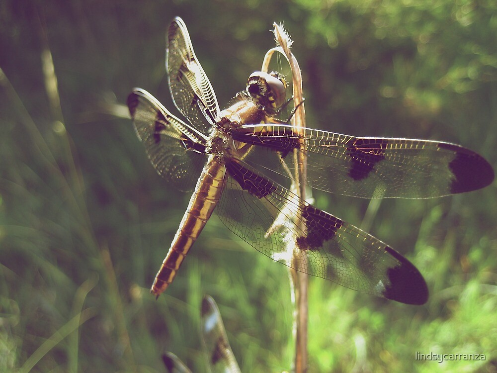 12 Spotted Skimmer by lindsycarranza