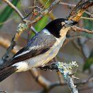 Butcherbird. Cedar Creek, Queensland, Australia. by Ralph de Zilva