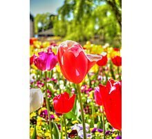Standing Out From The Rest  Tulips Floriade 2012 Photographic Print
