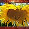 CLOSE UP SUNFLOWER ONLY