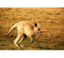 Blonde kangaroo Photographic Print