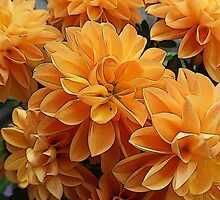 Birth Month Flower - November - Chrysanthemum by sitnica