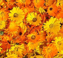 Birth Month Flower - October - Marigold by sitnica