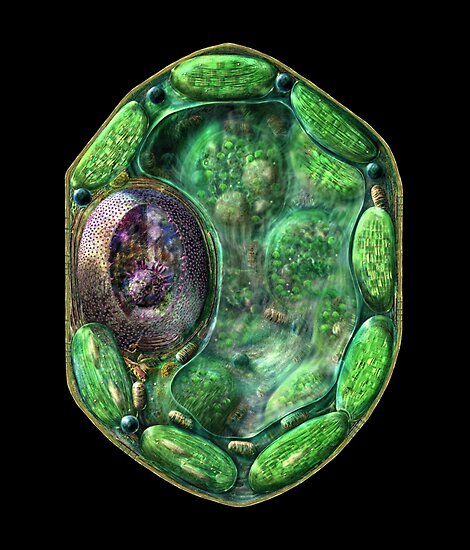 Plant Cell Structure by Russell Kightley