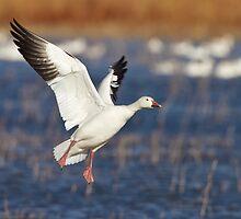 Snow goose landing by Bryan  Keil