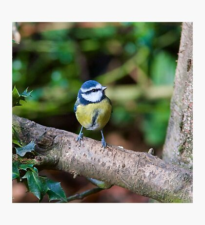 A Blue Tit (Cyanistes Caeruleus) Perched on a Branch Photographic Print