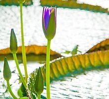Blue Lotus Flowers Opening by Melissa Thorburn