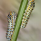Papilio machaon caterpillars by jimmy hoffman