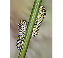 Papilio machaon caterpillars Photographic Print