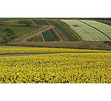 Daffodil cultivation Photographic Print