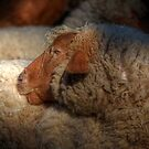 The Sheep by Kathy Baccari