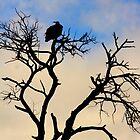 Silhouette Vulture by PBreedveld