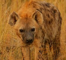 Hyena Portrait by PBreedveld