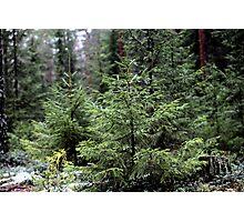fir-tree Photographic Print