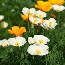 Poppies by BlinkImages