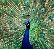 Peacock Display by Nick Field