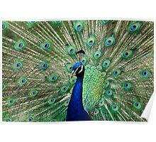 Peacock Display Poster