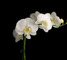 Orchid on Black by Nick Field