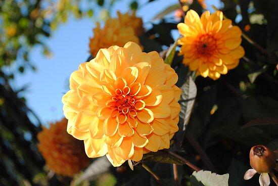 Orange Flower by alexandriaiona