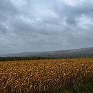 Thirsty ~ A Corn Field in a Rain Storm by Chantal PhotoPix