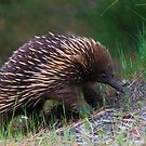 Puggles The Short Beaked Echidna by Donovan Wilson