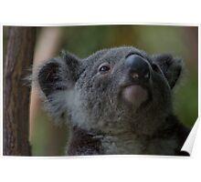 Cuddly Koalas Poster