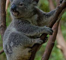 Active koala! by leanne0333