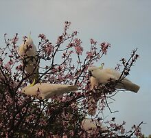 Cockatoos Feeding at Sunset by Kymbo