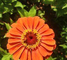 "Orange Zinnia Delight by Christine ""Xine"" Segalas"