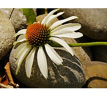 Mountain Daisy Photographic Print