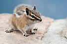 Little chipmunk by Eivor Kuchta